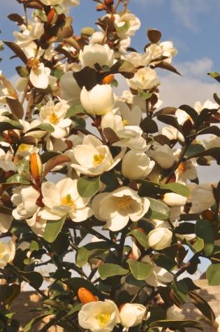 2018-06-11 18.04.45 Magnolia