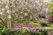 Erythronium revolutum under Magnolias-1708