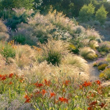 Grasses and dieramas backlit by an evening sun (keith wiley's conflicted copy 2020-02-24)